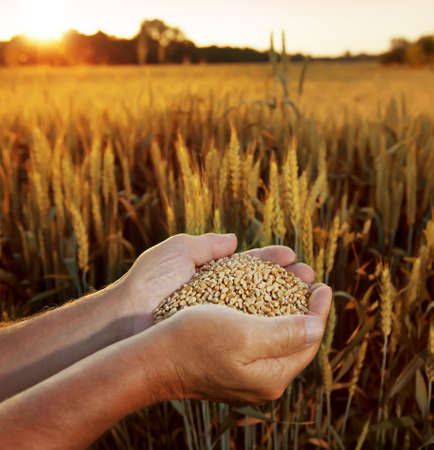 wheat in the hands of men on the background of field Standard-Bild