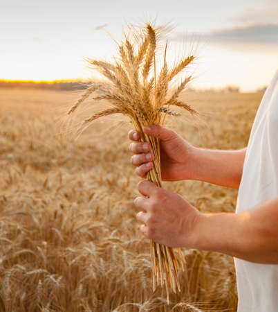 Man hand hold wheat ears on summer background of field.