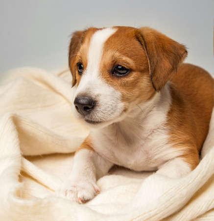 Jack Russell Terrier puppy lies on floor.