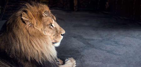 African lion lying on the floor close-up Standard-Bild