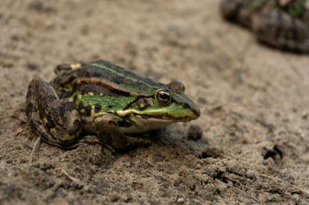 lake frog sits on a sand beach near river