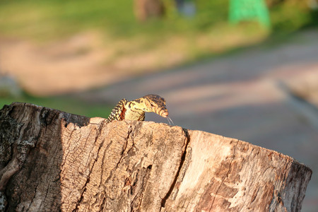 salvator: A Little Water monitor who called Varanus salvator is living in a tree hole Stock Photo