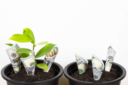 Planting US Dollars and plant in black flower pot isolated on white background. Money tree growth up from ground in concept of financial and investment.