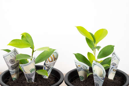 Planting US Dollars bills and tree in black flower pot isolated on white background. Money tree growth up from ground in concept of financial, money saving, interest and investment.
