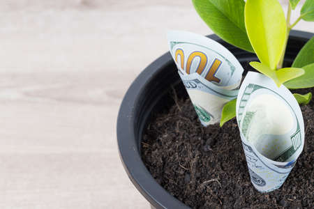 Close up planting US Dollars bills and tree in black flower pot isolated on white background. Money tree growth up from ground in concept of financial, money saving, interest and investment. Banque d'images