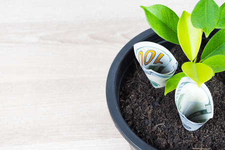 One hundred US dollar bills and money tree growth up in black flower pot placed on wooden table with copy space in concept of financial planning, saving money, interest rate and investment.