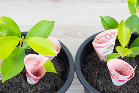 Planting Chinese yuan bills and tree in black flower pot isolated on white background. Money tree growth up from ground in concept of financial, money saving, interest and investment.