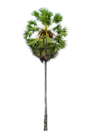 Sugar palm tree isolated on white background.