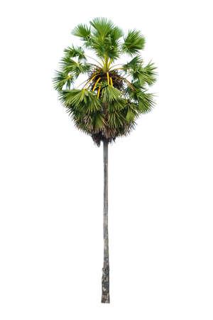 Sugar palm tree isolated on white background.