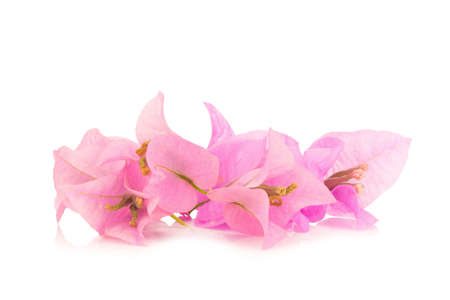 twing: Bougainvillea isolated on white background.
