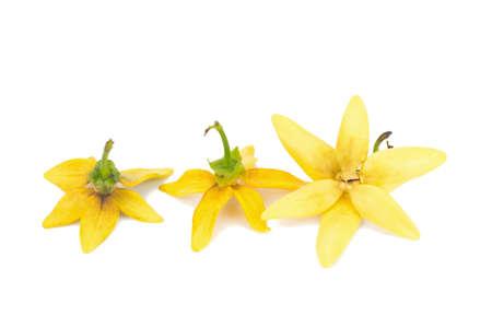 flower climbing ylang-ylang, climbing ilang-ilang, manorangini, hara-champa kantali champa isolated on white background.