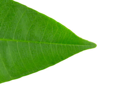 closeup leaves. leaf. isolated in white background.