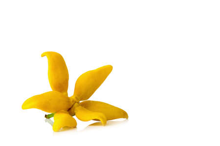 flower climbing ylang-ylang, climbing ilang-ilang, manorangini, hara-champa kantali champa isolated on white background. Archivio Fotografico