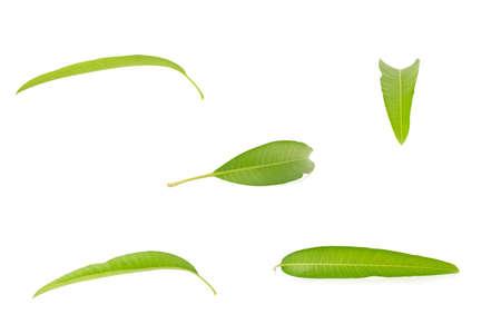 leaf mango isolated on white background.
