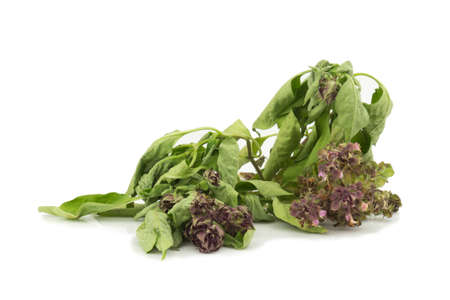 basil wither and dry isolated on white background.