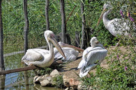 White pelicans sit near the water Stok Fotoğraf