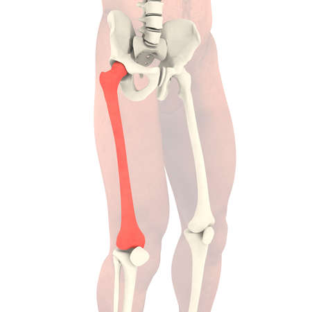 anatomically: Transparent skeleton  Isolated render on a white background