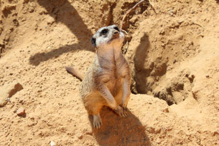 eyes cave: Meerkat looking up  Sitting on the sand