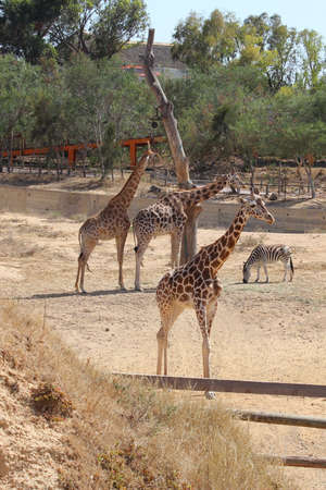 Three giraffe and zebra in the aviary photo
