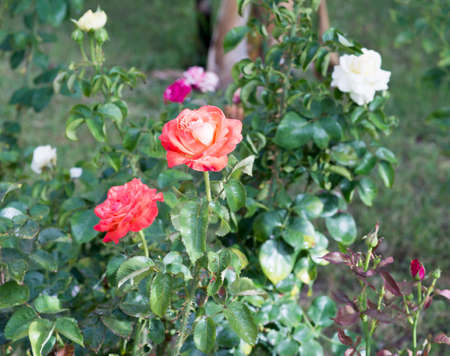 rose bush: Rose bush with white and pink flowers.