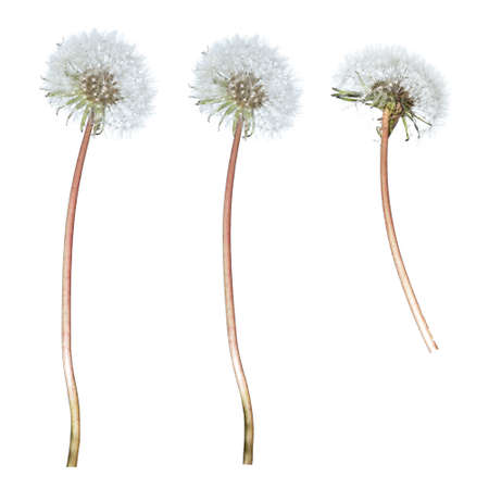 stalk: Dandelion with stalk on isolated white background Stock Photo
