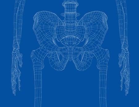 Skeleton of the human pelvis.