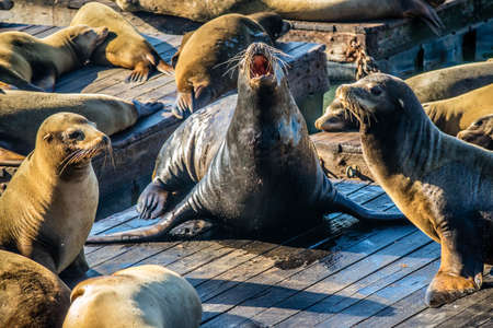 California Sea Lions of Pier 39 are resting at Fishermans Wharf Stock Photo