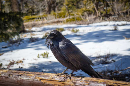 An American Crow in Bryce Canyon National Park, Utah Stok Fotoğraf