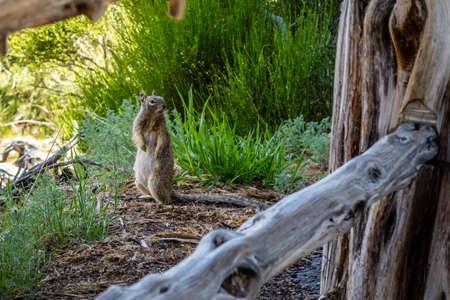 A grey squirrel in Mesa Verde National Park, Colorado Imagens