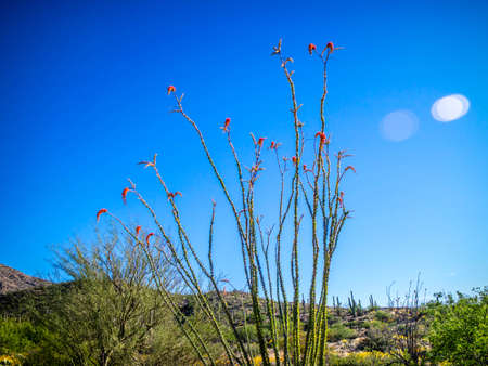 A colorful Ocotillo Cactus blooming in the desert of Saguaro National Park Stock Photo