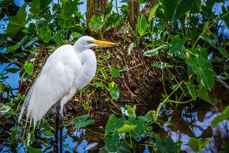 A Great White Egret in Orlando, Florida