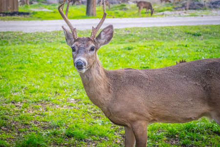 A White-Tailed Deer in Lake Hills, Texas Stock Photo