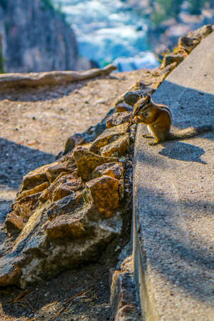 A brown Eastern chipmunk in Yellowstone National Park, Wyoming 스톡 콘텐츠