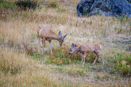White-Tailed Deer in the field of Yellowstone National Park, Wyoming 스톡 콘텐츠