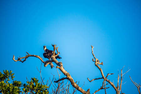 A Western Osprey in Everglades National Park, Florida Stock Photo