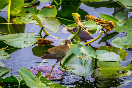 A young Purple Gallinule in the Everglades National Park, Florida 스톡 콘텐츠