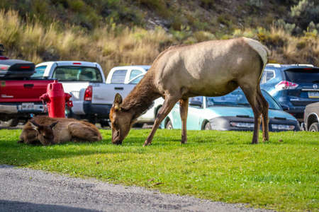 A Female Elk in Yellowstone National Park, Wyoming Stock Photo