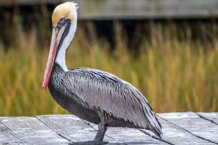 A Group of Brown Pelican resting around in Amelia Island, Florida