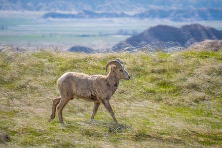 A female Bighorn Sheep in the field of Badlands National Park, South Dakota