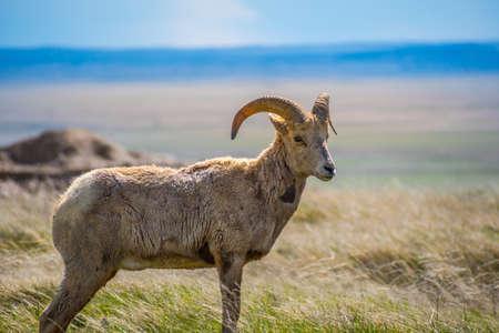 Samica owcy Bighorn w polu Parku Narodowego Badlands w Południowej Dakocie