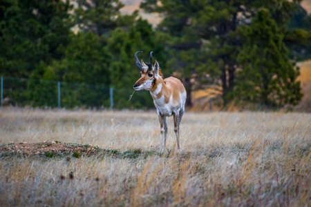 Pronghorn in the field of Wind Cave National Park, South Dakota 写真素材