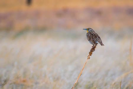 A Western Meadowlark Bird in Wind Cave National Park, South Dakota