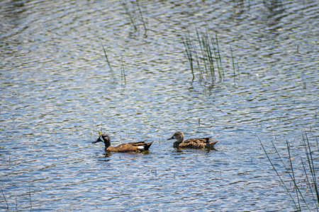 A lovely couple ducks in Santa Ana NWR, Texas 写真素材