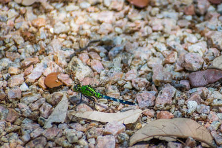 An Eastern Pondhawk in Aransas NWR, Texas 写真素材