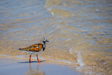 A Rudy Turnstone Bird in Padre Island NS, Texas Imagens - 130875125