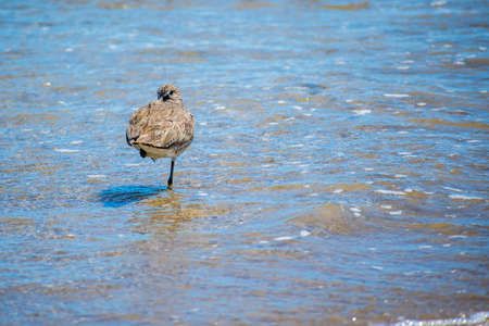 A Willet Bird in Padre Island NS, Texas Imagens