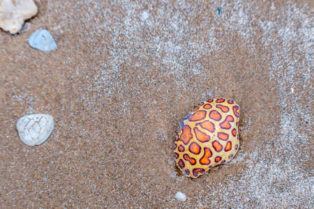A Calico Box Crab in South Padre Island, Texas