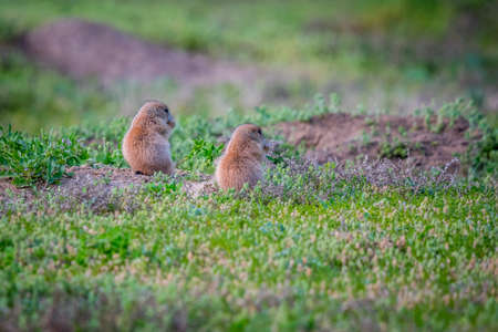 Prairie Dogs in Devils Tower National Monument, Wyoming