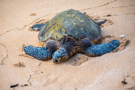 A large sea turtle relaxing along the shoreline of the beach