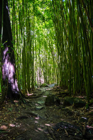 Scenic landscape composed of tall bamboo trees in the trail of Haleakala National Park